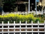 20090329_習志野市谷津5_京成本線沿い_菜の花_0911_DSC08635