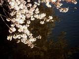 20090404_東京都新宿区_新宿御苑_桜_さくら_1517_DSC00271