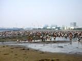 20090510_ふなばし三番瀬海浜公園_潮干狩り_1059_DSC06295