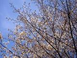 20090329_習志野市秋津5_秋津公園_さくら_桜_1248_DSC09421