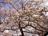 20090404_東京都新宿区_新宿御苑_桜_さくら_1453_DSC00187