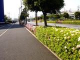20090502_船橋市浜町2_IKEA前_街路_ツツジ_1427_DSC05003