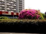 20090510_三井ガーデンホテルズ船橋ららぽーと_ツツジ_1219_DSC06596