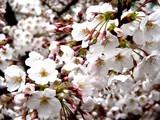 20090401_東京都内_桜_さくら_1608_DSC09774