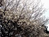 20090329_千葉市_幕張_花見川緑地_さくら_桜_1116_DSC09082