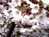 20090401_東京都内_桜_さくら_1609_DSC09781