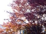 20091128_船橋ファミリータウン公園_紅葉_1420_DSC09263