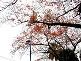 20091126_ららぽーとTOKYO-BAY_サクラ_0814_DSC09030