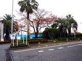 20091126_ららぽーとTOKYO-BAY_サクラ_0814_DSC09028