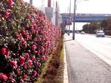 20091219_船橋市浜町2_ららぽーと_サザンカ_山茶花_1339_DSC02173