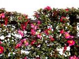 20091219_船橋市浜町2_ららぽーと_サザンカ_山茶花_1540_DSC02454