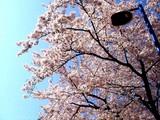 20090410_船橋市浜町2_ららぽーとTOKYO-BAY_桜_0846_DSC02063