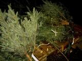 20091121_船橋市浜町2_IKEA船橋_生クリスマスツリー_1642_DSC08232
