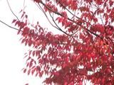 20091108_船橋市市場4_青山病院前_紅葉_1058_DSC04338