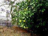 20091108_船橋市東船橋6_東船橋緑地_柑橘系果実_1122_DSC06129