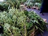 20091121_船橋市浜町2_IKEA船橋_生クリスマスツリー_1641_DSC08230