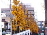 20091205_船橋市市場3_銀杏_イチョウ_1003_DSC00551