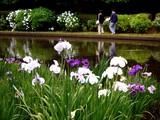 20100620_習志野市_香澄公園_菖蒲田_1138_DSC04573