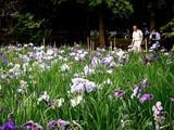 20100620_習志野市_香澄公園_菖蒲田_1139_DSC04584