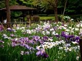 20100620_習志野市_香澄公園_菖蒲田_1139_DSC04581