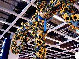 20100626_IKEA船橋_ミッドサマー_スウェーデン夏至祭_1239_DSC05832