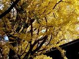 20101120_船橋市宮本5_船橋大神宮_イチョウ_銀杏_1206_DSC02518