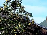 20101010_船橋市_民家_カキ_甘柿_渋柿_タンニン_1516_DSC04920
