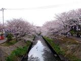 20100404_船橋海老川ジョギングロードのサクラ並木_1030_DSC09937