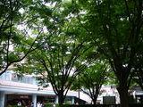 20100530_浦安市入船1_JR新浦安駅南口前広場_ケヤキ_1248_DSC01358