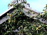 20101010_船橋市_民家_カキ_甘柿_渋柿_タンニン_1516_DSC04919