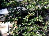20101010_船橋市_民家_カキ_甘柿_渋柿_タンニン_1516_DSC04924