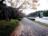 20101121_習志野市茜浜1_サクラ_桜_1001_DSC02750