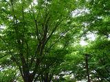 20100530_浦安市入船1_JR新浦安駅南口前広場_ケヤキ_1248_DSC01359