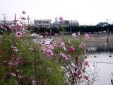 20101106_船橋市栄町1_コスモス_秋桜_1234_DSC00708