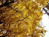 20101120_船橋市宮本5_船橋大神宮_イチョウ_銀杏_1206_DSC02520