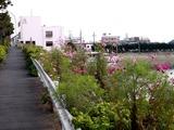 20101106_船橋市栄町1_コスモス_秋桜_1233_DSC00703
