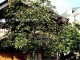 20101010_船橋市_民家_カキ_甘柿_渋柿_タンニン_1515_DSC04917