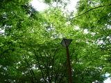 20100530_浦安市入船1_JR新浦安駅南口前広場_ケヤキ_1228_DSC01307