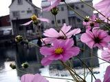 20101106_船橋市栄町1_コスモス_秋桜_1234_DSC00713