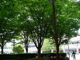 20100530_浦安市入船1_JR新浦安駅南口前広場_ケヤキ_1228_DSC01306