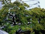 20101009_幕張新都心_浜田川沿い_クロガネモチ_1204_DSC04291