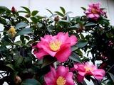 20110115_船橋市浜町2_ららぽーとTOKYO-BAY_サザンカ_山茶花_1304_DSC02407