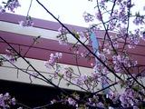 20110304_ららぽーとTOKYO-BAY_サクラ_桜_0750_DSC07635