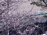 20110104_船橋市若松1_船橋競馬場_桜_1000_DSC00017