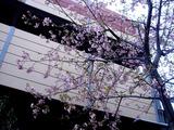 20110304_ららぽーとTOKYO-BAY_サクラ_桜_0749_DSC07627