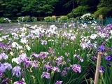 20110618_習志野市海浜香澄公園_菖蒲園_ショウブ_1007_DSC05112