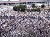 20110104_船橋市若松1_船橋競馬場_桜_0959_DSC00014