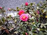 20110115_習志野市_街路樹_サザンカ_山茶花_1215_DSC02212