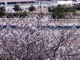 20110104_船橋市若松1_船橋競馬場_桜_0959_DSC00012
