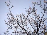 20110102_船橋市若松1_船橋競馬場_桜_1635_DSC00304